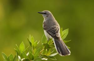 Mockingbird Animal Spirit