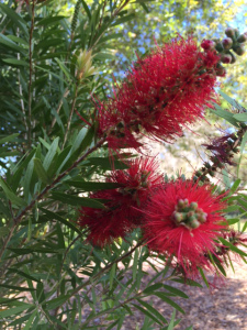 Blossoming Bottlebrush