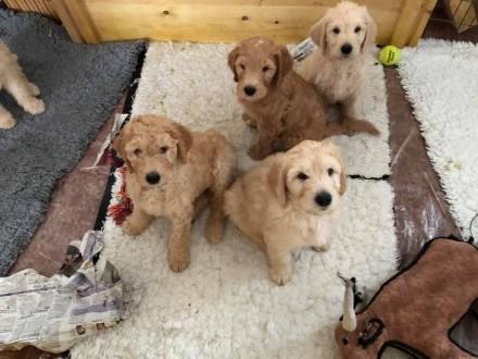 4 Labradoodle puppies