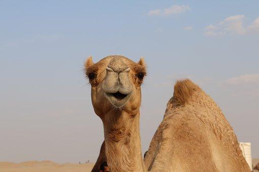 camel-2756363__340