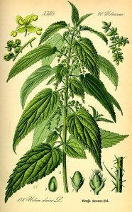 330px-Illustration_Urtica_dioica0 or nettles on wikipedia
