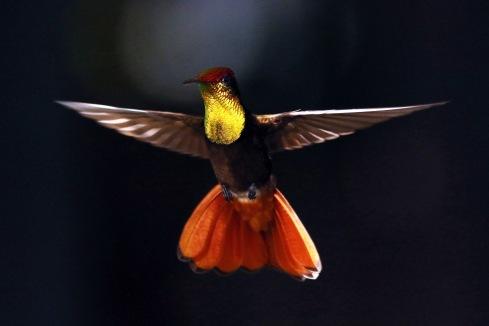Ruby-topaz_hummingbird_flying in Tobago